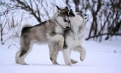 Wolf Whimpering