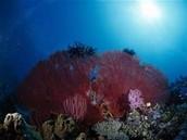 algas rojas o rodofitas