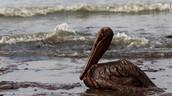 An oil-soaked pelican on East Grande Terre Island, Louisiana