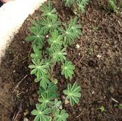 צמחים צעירים