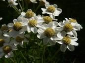 4 Sneezewort flowers