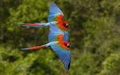 Forest parrots