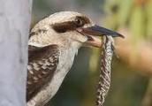 Kookaburras are native Australian birds. The scientific name for a kookaburra is dacelo novaeguinae.