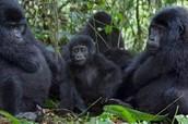 Gorilla Band