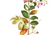 flores del árbol de júpiter
