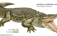 Eustuarine Crocodile