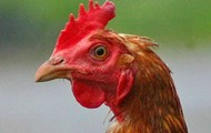 Chicken McFace