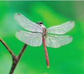 A dragonfly from the Pennsylvanian Age