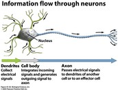 A picture of a neuron
