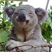 Some information on the koala.