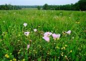 blackland prairie wildflowers