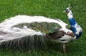 Green Peafowl Turning White