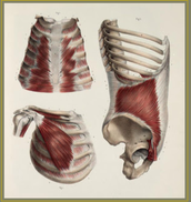 The diaphragm and the LIMBIC system reset.