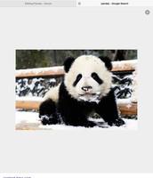 A panda baby