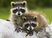 Los Angeles Raccoon Removal Service