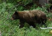 consumer/black bear