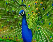 See Peacocks spread their feathers
