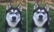 These are the faces of the husky