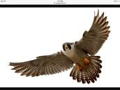 American Peregine Falcon
