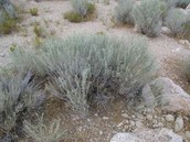Thsi is a picture of sagebrush