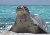 The Medditerranean Monk Seal