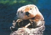 A Sea Otter's Description