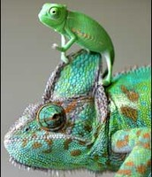 A Young Chameleon in Comparison to an Adult!