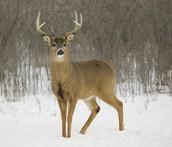 huge antlers