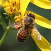north cardinal state honey bee