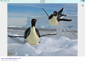 Penguins jumping out of water:section sleek sliding
