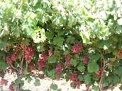 גידול הצימוק- כרם ענבים