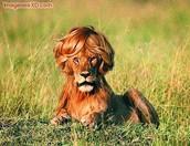 Si quieres un pelo fuerte y sano  utiliza shampoo lion
