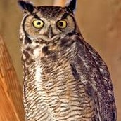 A great horned owl looking for it prey