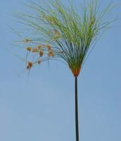 """צמח הגומא """"פפירוס"""""""