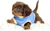 How can you say no to this Dachshund?
