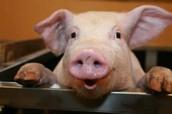 Swine Information Night