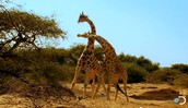 Giraffe Battles