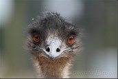 Ostriches are their ally's
