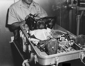 A Chimp being tested/torchered on for reasearch.