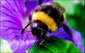 Bees-Cinquain