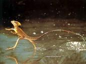 Jesus lizard/jesús lagarto