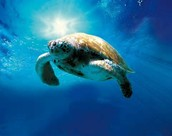 Sea Turtles are becoming sicker and sicker due to pollution