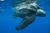 Large leatherback turtle swimming