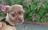 Yozo -- 5 yr old, 5 lb Chihuahua
