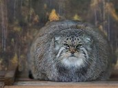 Fat cat with lots of fur