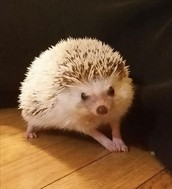 My African pygmy hedgehog Bandit