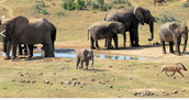 This is an image of Asian elephants before they migrated and lost their home.
