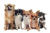 Best Chihuahuas Puppies for Sale