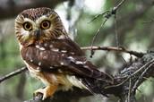 Adult Female Owl