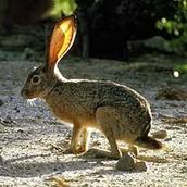 Hare/ rabbit